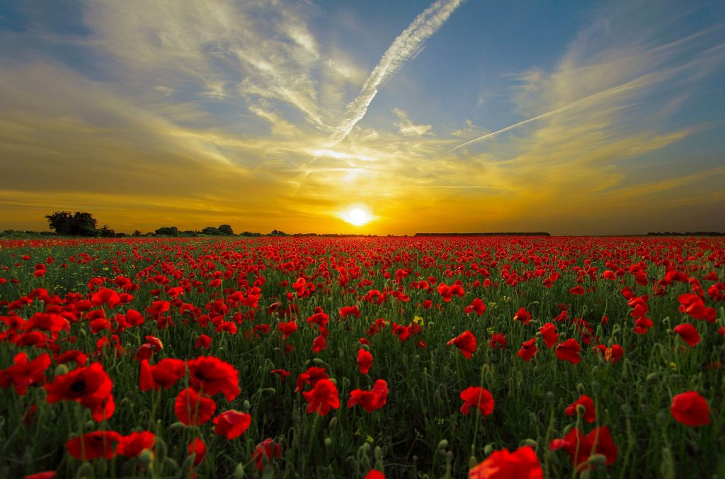 Poppy Field Sunshine